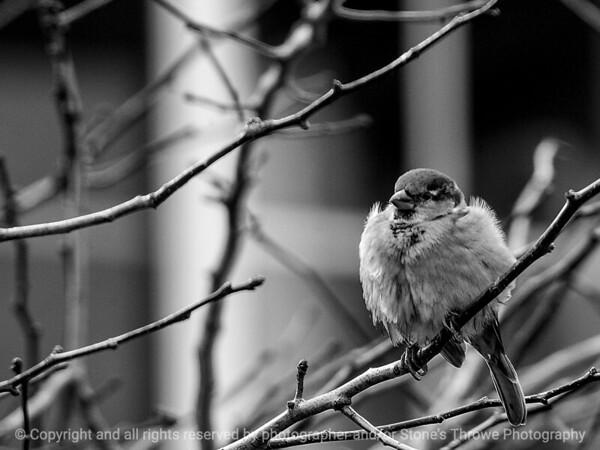 bird_sparrow-wdsm-20dec15-12x09-002-bw-6182