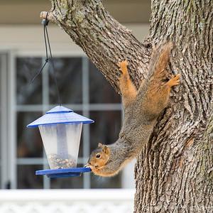 015-squirrel-wdsm-05mar17-09x09-0a6-8041