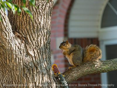 015-squirrel-wdsm-21jul18-12x09-002-350-6191