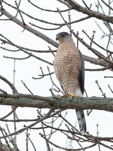 015-bird_hawk-wdsm-25nov16-09x12-001-7169