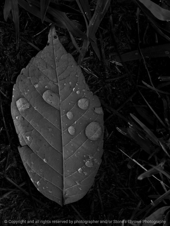 015-water_drops_leaf-wdsm-22aug14-001-bw-1826