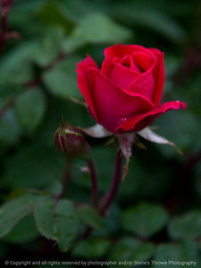 015-flower_rose-wdsm-24may17-09x12-201-soft_focus-9312