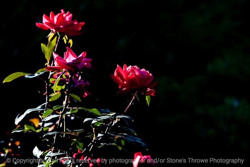 flower_rose-wdsm-24aug15-18x12-003-4525