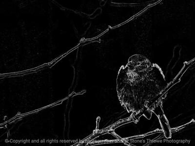 bird_sparrow-wdsm-20dec15-12x09-212-bw-6182