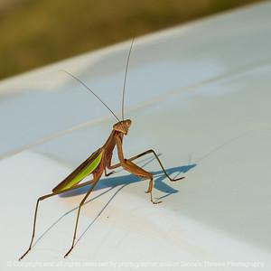 015-insect_praying_mantis-wdsm-07sep21-09x09-006-400-4655