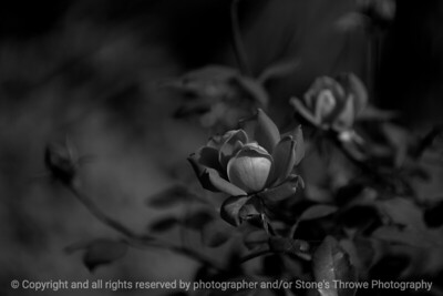 flower_rose-wdsm-25sep15-18x12-013-bw-5290.jpg