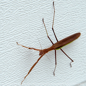 015-praying_mantis-wdsm-27aug17-09x09-006-0907