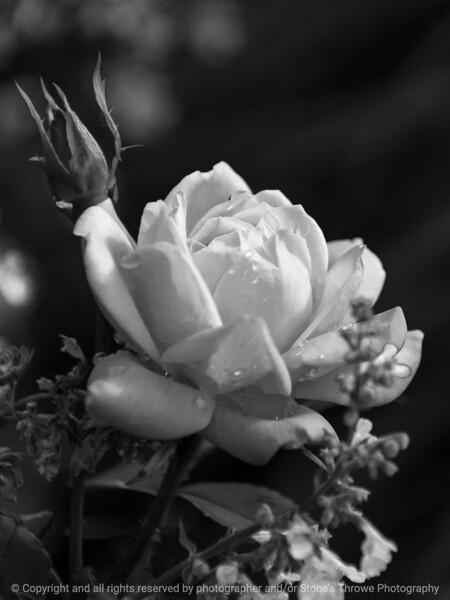 rose-wdsm-25may15-09x12-001-bw-3468