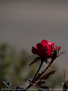 flower_rose-wdsm-09nov15-09x12-001-5805
