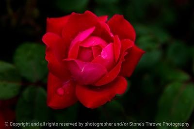 015-flower_rose-wdsm-24may17-18x12-003-9309