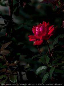 flower_rose-wdsm-25sep15-09x12-001-5298
