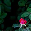 flower_rose-wdsm-09sep15-09x09-006-4972