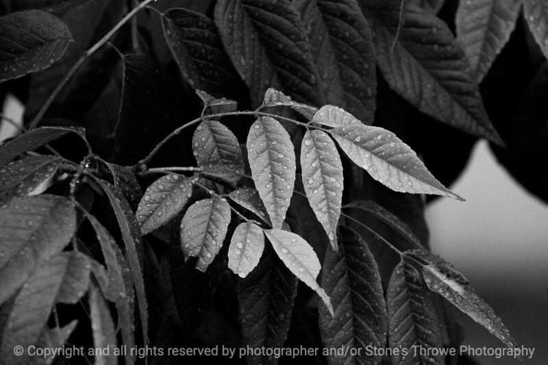 leaf_water_beads-wdsm-24may15-18x12-003-bw-3378