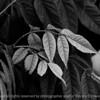 leaf_water_beads-wdsm-24may15-18x12-003-bw-3378
