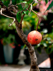 015-pomegranate-dsm-05jul12-001-7169