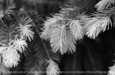 015-douglas_fir_detail-dallas_co-16may06-bw-2477