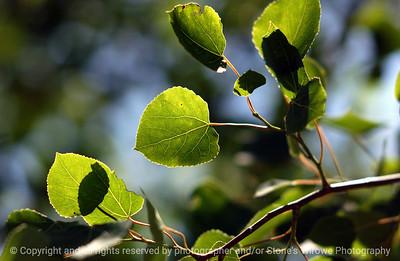 015-birch_leaf_detail-dallas_co-19may06-2507