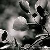 015-birch_leaf_detail-dallas_co-19may06-bw-2507