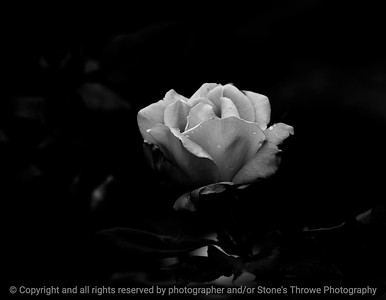 015-flower_rose-dsm-04jun13-18x12-203-bw-0902
