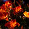 015-flower_backlit-dsm-11jul10-lcvr-5885