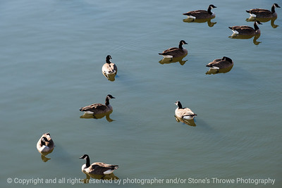 015-bird_goose-dsm-15jan13-9296