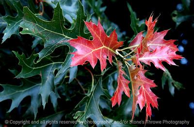 015-oak_leaf-dsm-05jul03-r