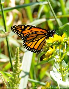 015-butterfly-dsm-15sep08-cvr-0159