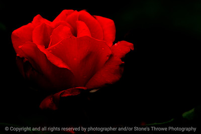 015-flower_rose-dsm-04jun13-18x12-203-0902