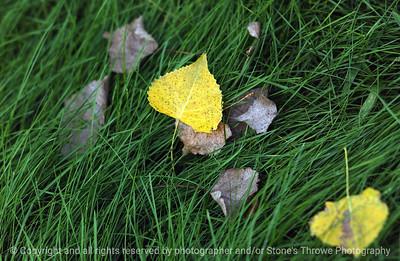 015-cottonwood_leaf-dsm-30aug06-2885