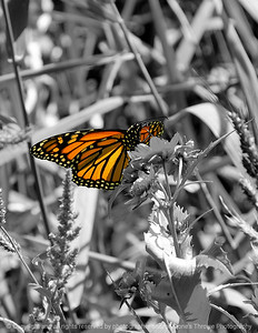 015-butterfly-dsm-15sep08-0158
