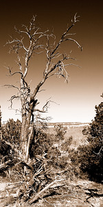 015-tree-grand canyon_az-08dec06-06x12-007-sepia-0219