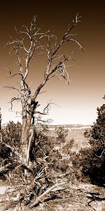 015-tree-grand canyon_az-08dec06-06x12-007-sepia-0219