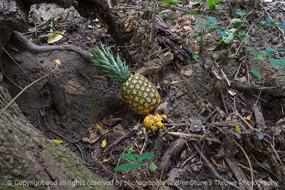015-pineapple-dsm-23aug18-12x08-007-350-7184