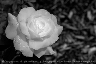 015-rose_white-dsm-22jun17-18x12-003-bw-9723