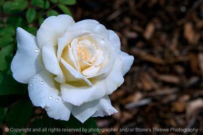 015-rose_white-dsm-22jun17-18x12-003-9723