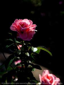 015-flower_rose-dsm-29jul12-201-7580