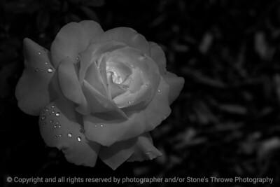 015-rose_white-dsm-22jun17-18x12-033-bw-9723