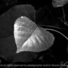 015-leaf-dsm-05jul03-bw-c2-d