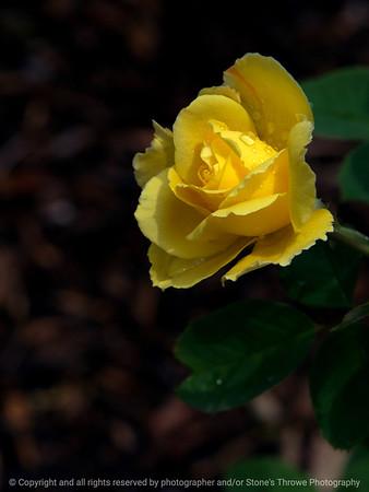 015-flower_rose-dsm-22jun17-09x12-001-9719