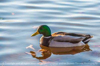 duck-ankeny-13nov15-18x12-003-5867