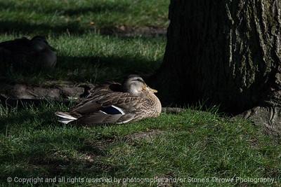 015-duck-ankeny-10jul16-12x08-007-4752