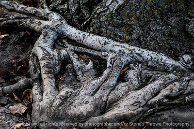 015-tree_roots-ankeny-05nov14-18x12-003-0572