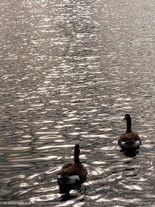 015-geese_ripples-ankeny-16oct14-09x12-0190