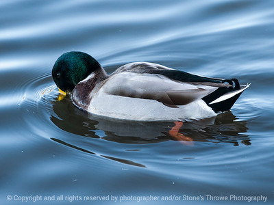 duck-ankeny-13nov15-12x09-002-5897