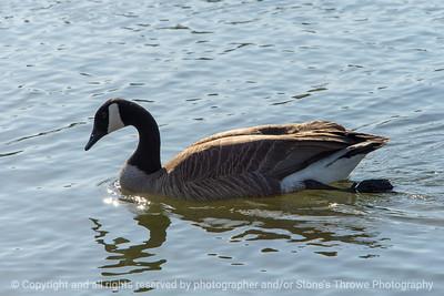 015-bird_goose-ankeny-23apr18-12x08-008-350-3965