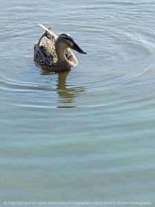 015-duck-ankeny-23apr18-09x12-350-4003