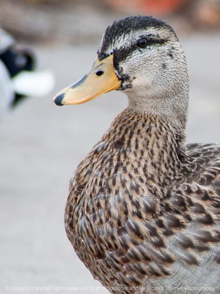 015-duck-ankeny-05nov14-09x12-001-0542