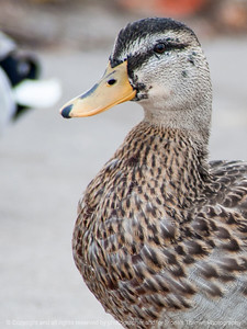 015-duck-ankeny-05nov14-09x12-001-0542