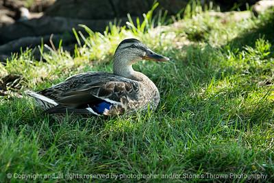 015-duck-ankeny-10jul16-18x12-003-4740