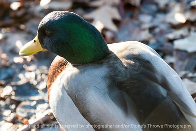 duck-ankeny-13nov15-18x12-003-5883